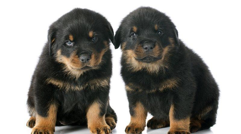 kleine Hunde-Welpen